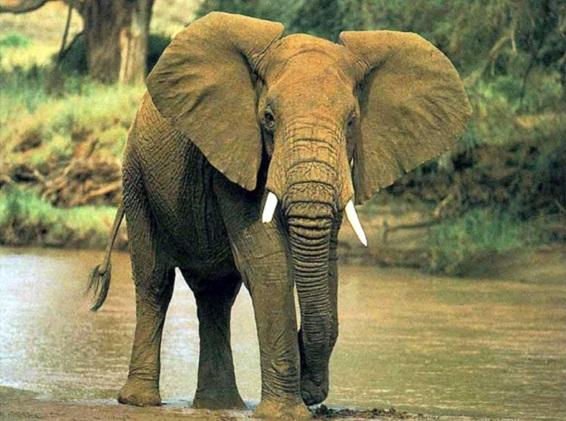 significado-elefante-indiano