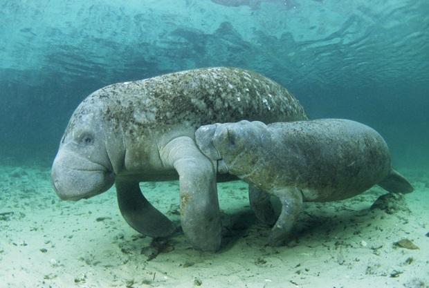 sirênia-animal-aquatico