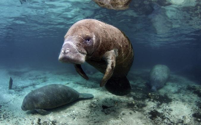 sirenia-mamíferos-marinhos