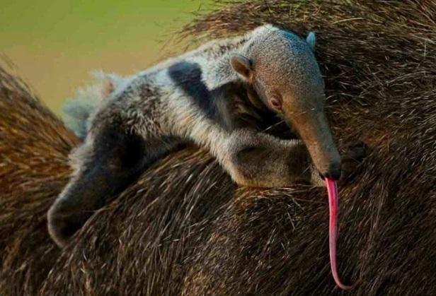tamanduá-bandeira-habitat