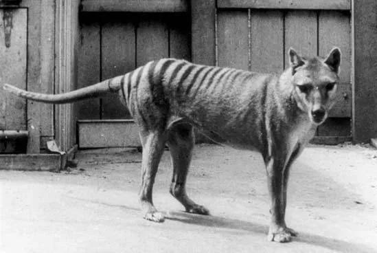 tigre-marsupaial-animal-em-extinção