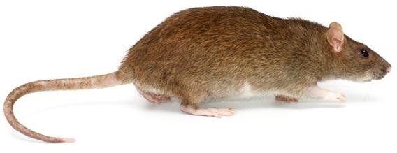 anatomia-dos-roedores