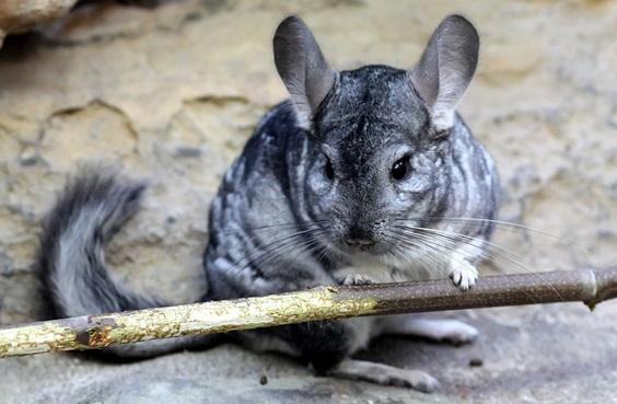 chinchila-comum-tamanho