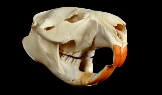 cranio-de-um-roedor