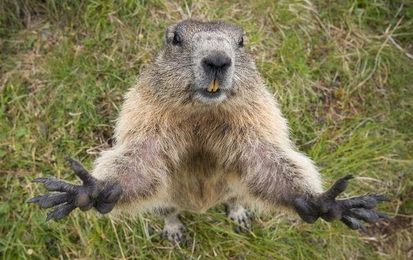 curiosidades-sobre-a-marmota-alpina