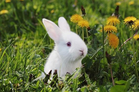 curiosidades-sobre-os-coelhos