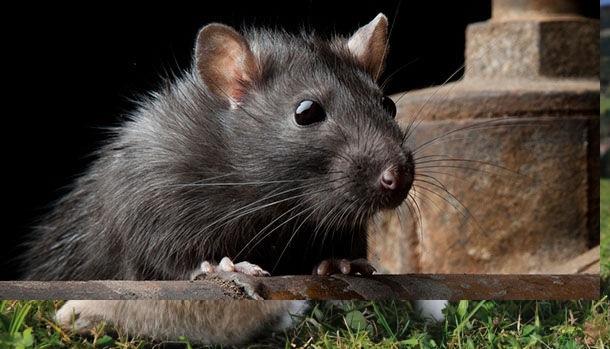 habitat-do-rato-preto