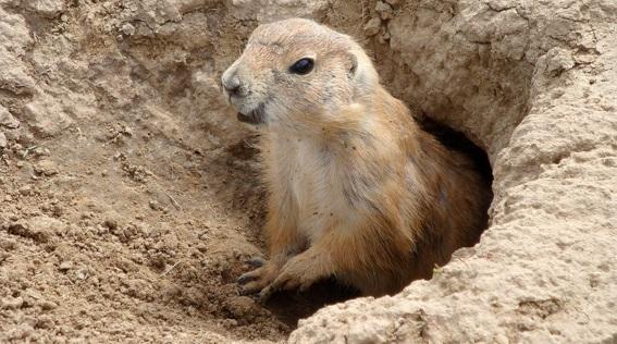 marmota-curiosidades