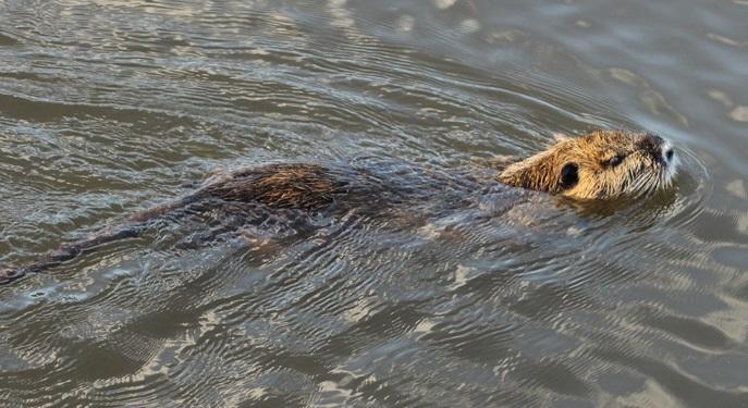o-ratão-do-banhado-é-um-roedor-nadador