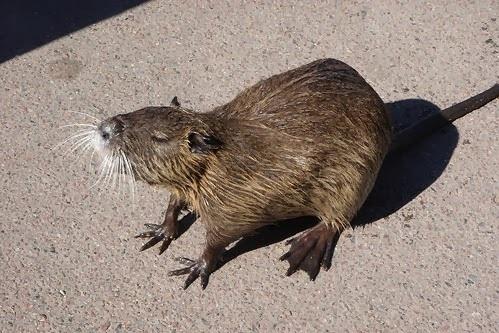 ratão-do-banhado-alimentação