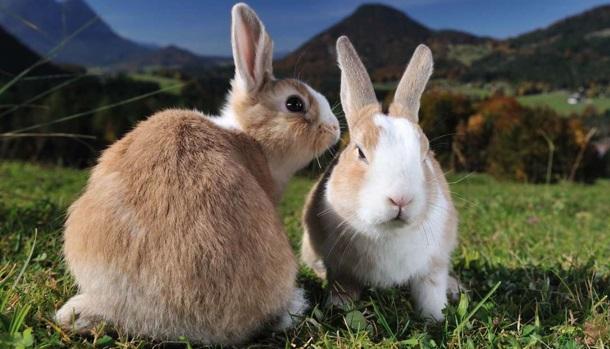 reprodução-e-periodo-de-gestação-dos-coelhos