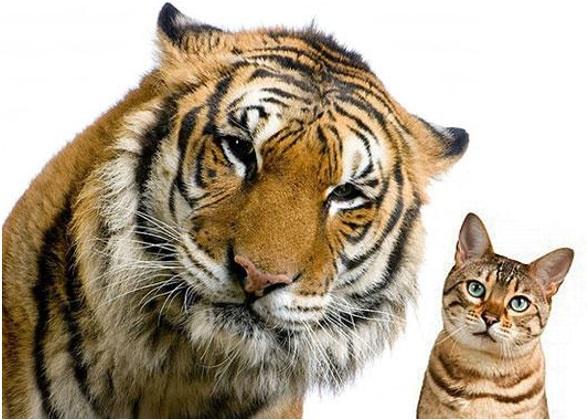 animais-felinos
