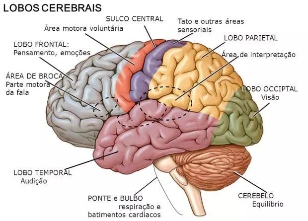 cerebro-humano-anatomia