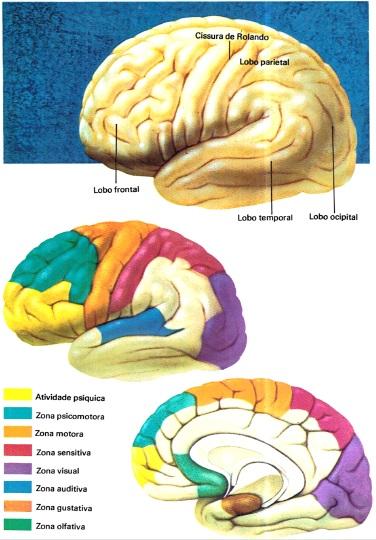 cerebro-humano-desenho