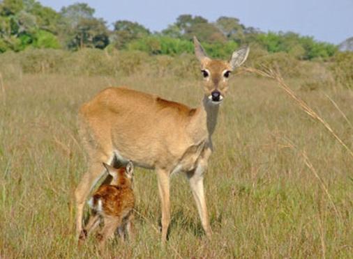 cervo-do-pantanal-filhote