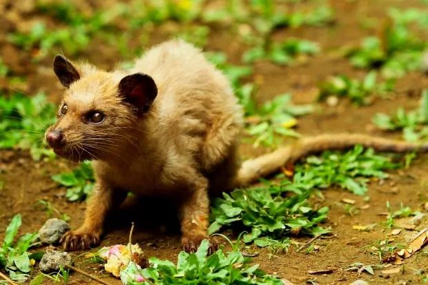 civeta-animal