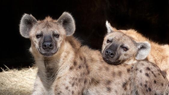 comportamento-das-hienas