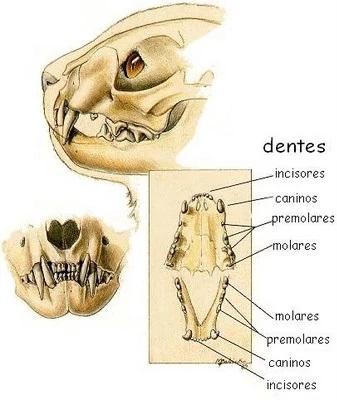 dentição-dos-felinos