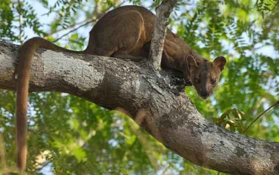 fossa-escalando-uma-árvore
