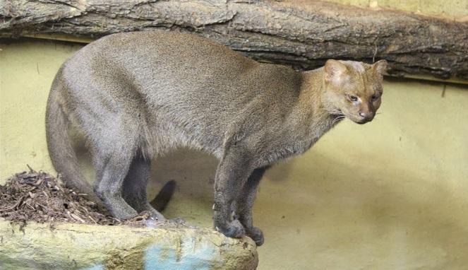 gato-mourisco-foto