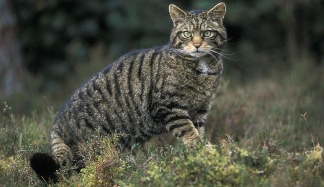 gato-selvagem