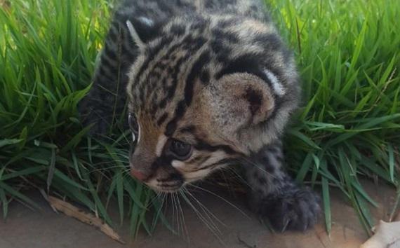 jaguatirica-filhote