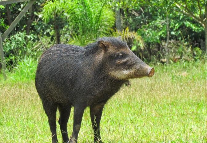 porco-selvagem