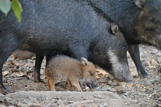 queixada-porco