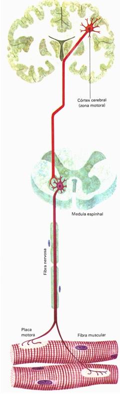 sistema-muscular-anatomia
