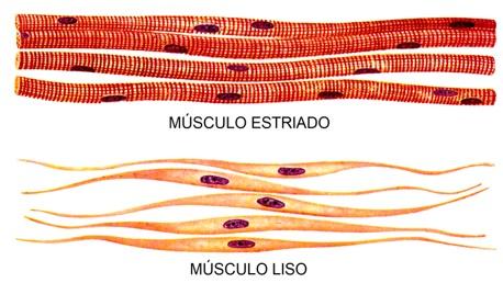 sistema-muscular-fisiologia