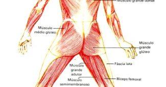 sistema-muscular-humano