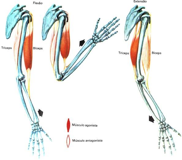 sistema-muscular-resumo