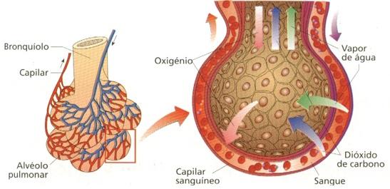 alveolos-pulmonares-respiração-humana