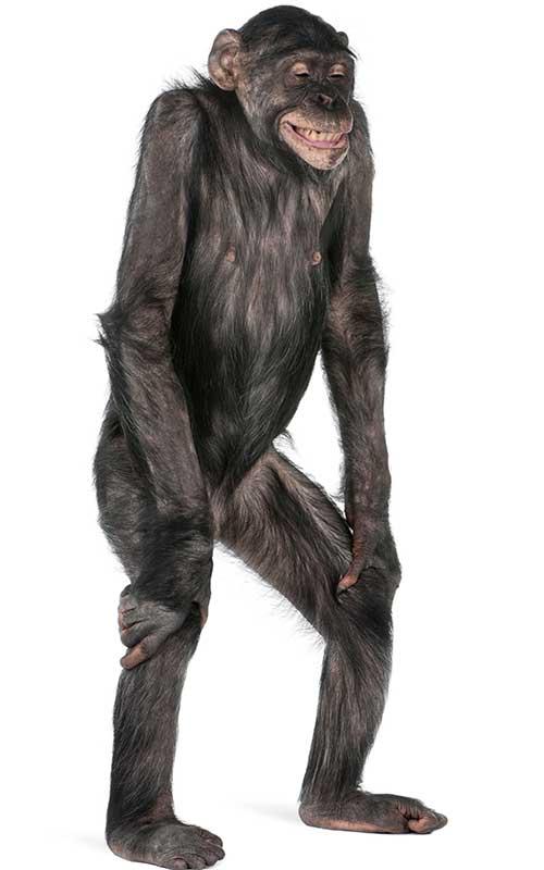 anatomia-do-chimpanzé