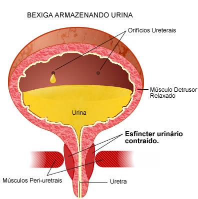 bexiga-sistema-urinário-humano