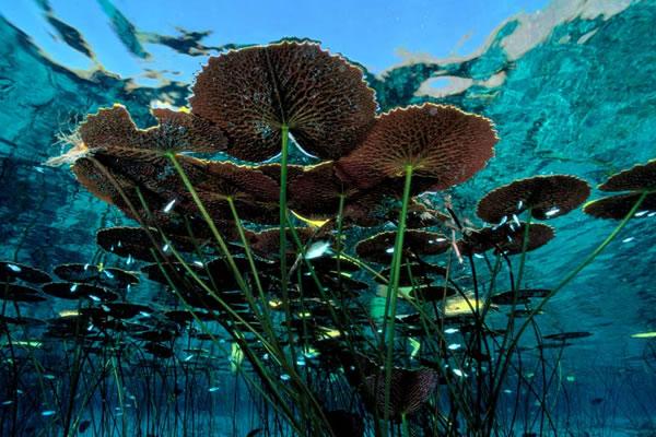 caules-aquaticos