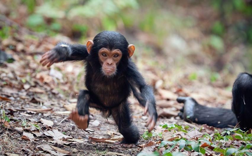 chimpanzé-filhote