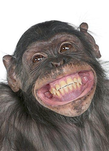 chimpanzé-rindo