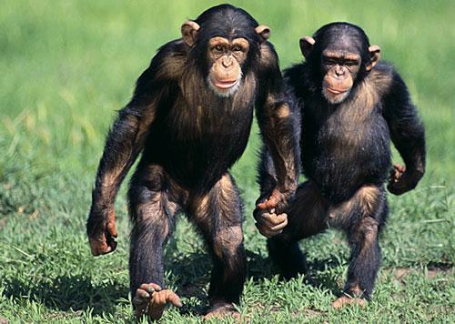 chimpanze-comportamento