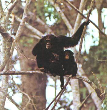 chimpanze-habitat
