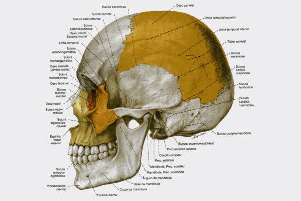 ossos-da-cabeça-cranio-humano
