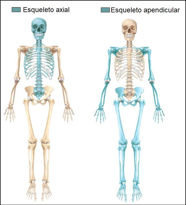 esqueleto-axial-e-apendicular