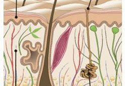 glandulas-sudoríparas-resumo