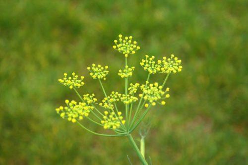 inflorescencia-composta-erva-doce