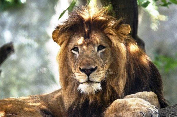 leão-animal
