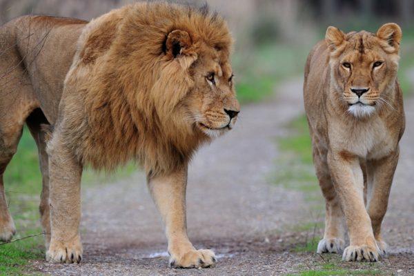 leão-e-leoa-época-de-reprodução