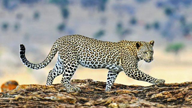 leopardo-peso