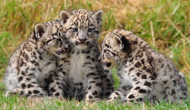 leopardos-filhotes