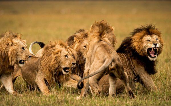 onde-vivem-os-leões