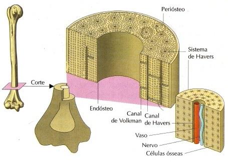 anatomia-dos-ossos-do-corpo-humano